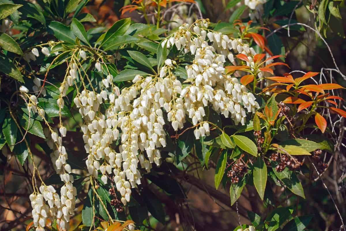 Japanese andromeda shrubs are also known as lily-of-the-valley bushes.