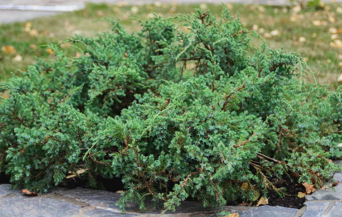 The juniper is an evergreen that looks great as a border shrub.