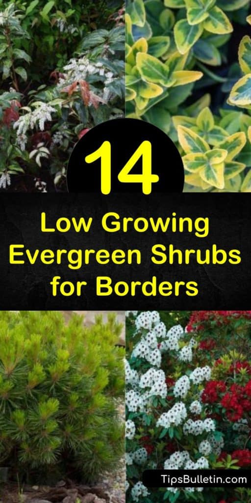Learn how to create a visually appealing border around your garden or walkway with hardy and low maintenance evergreen shrubs. Plant buxus or euonymus in full sun along a walkway or enjoy the green foliage of azaleas behind rock gardens. #lowgrowingevergreens #lowgrowingshrubs #evergreenborders