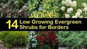 Low Growing Evergreen Shrubs for Borders titleimg1