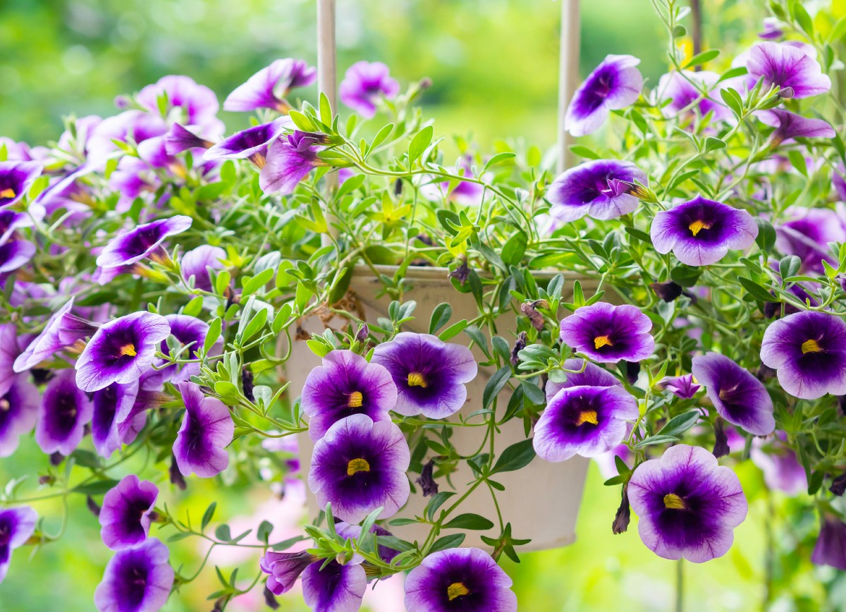Million bells has tiny petunia-like flowers that are perfect for hanging containers.