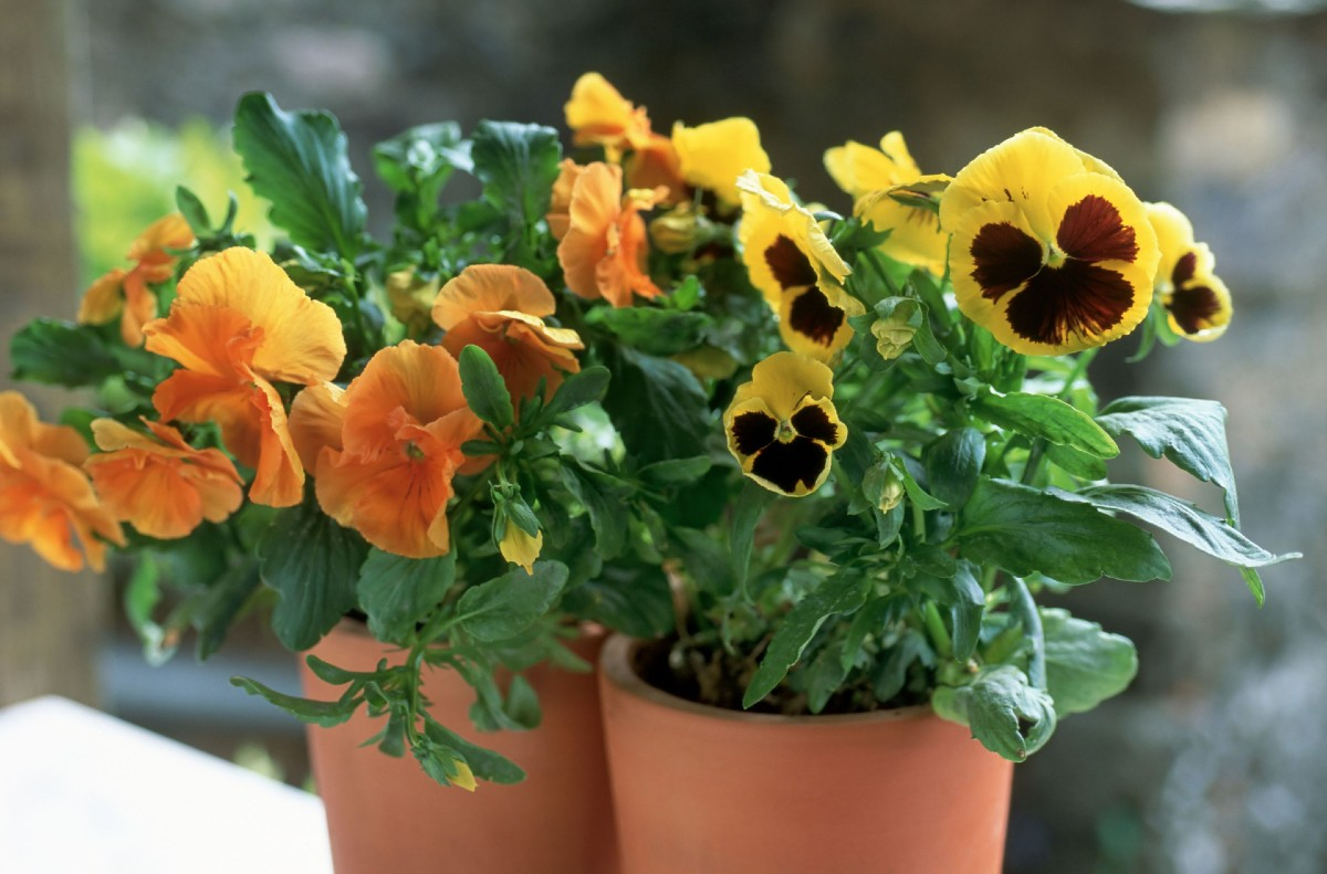 Pansies are cool weather annuals with cheerful, bright colors.