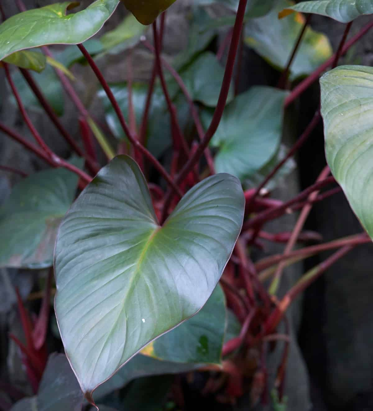 The philodendron is a plant that is highly adaptable to all sorts of living conditions.