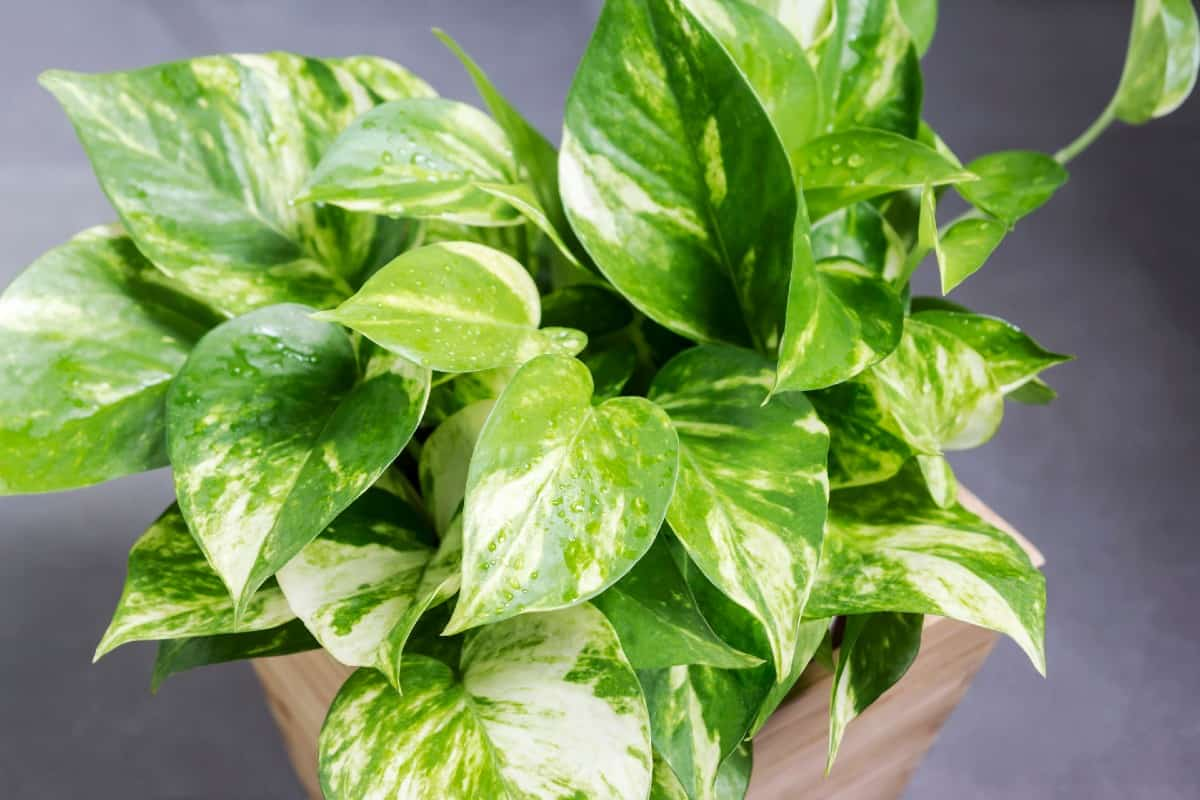 The pothos plant filters indoor air toxins.
