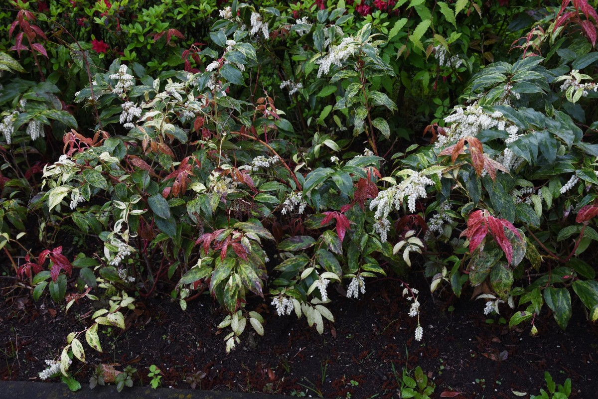 Rainbow leucothoe is one of the best low growing evergreen shrubs for borders.