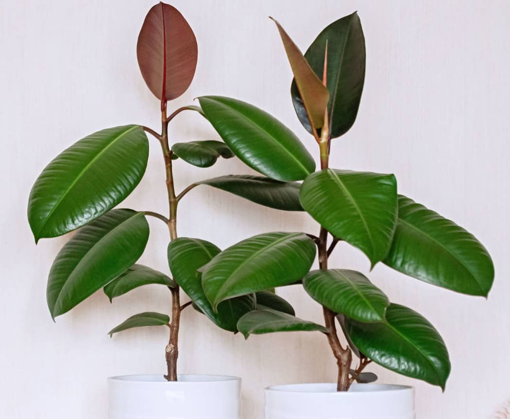 The rubber tree plant requires very little maintenance.