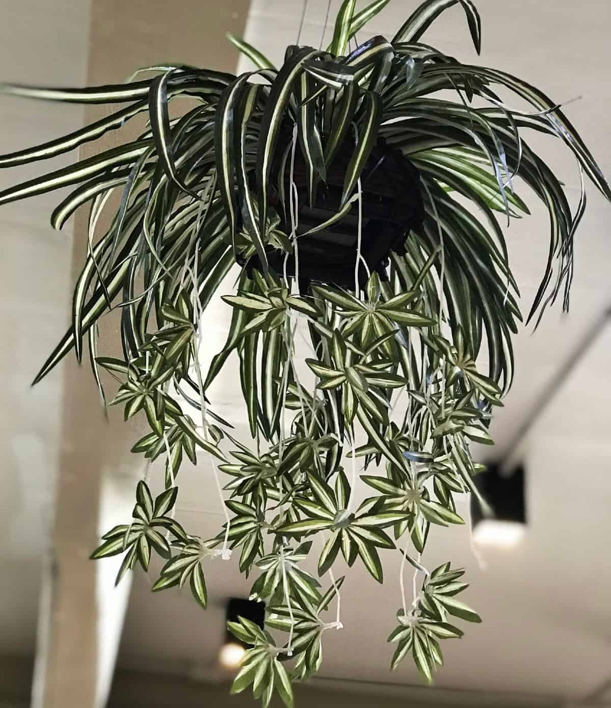The spider plant is easy to grow from cuttings.