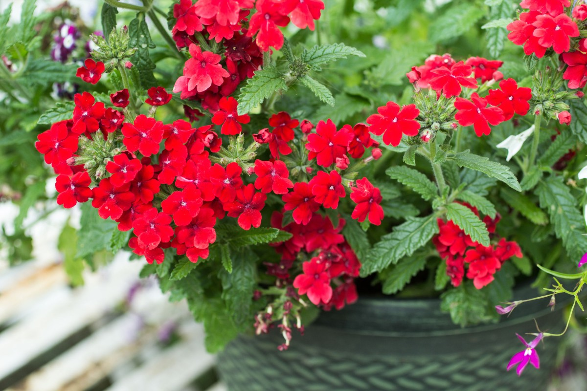 Verbena plants make the best container flowers.