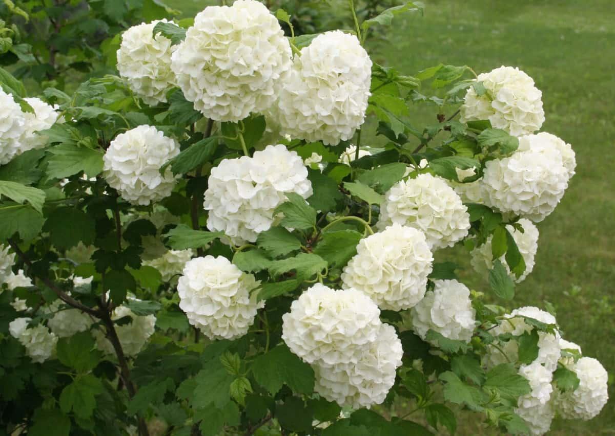 Viburnum has delightful flowers that brighten any space.