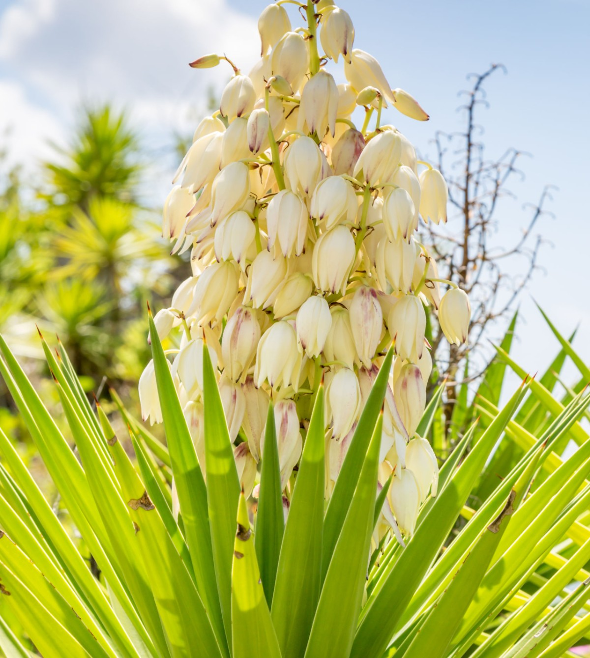 The yucca plant is an unusual drought-tolerant shrub that adds interest to any garden area.