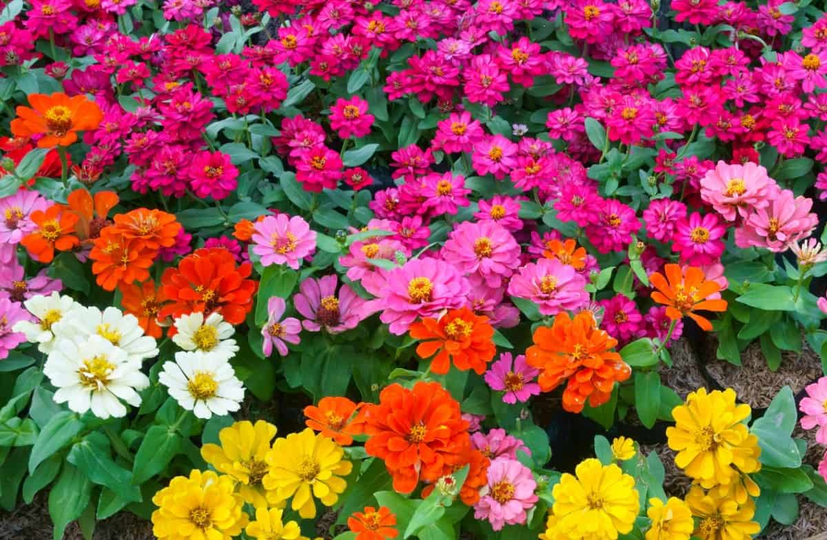 For a low maintenance flower, plant some zinnias.