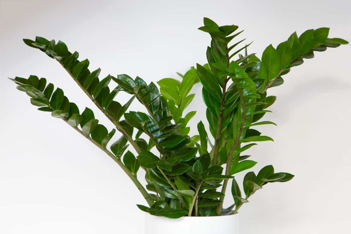 The ZZ plant is also called the cardboard palm.