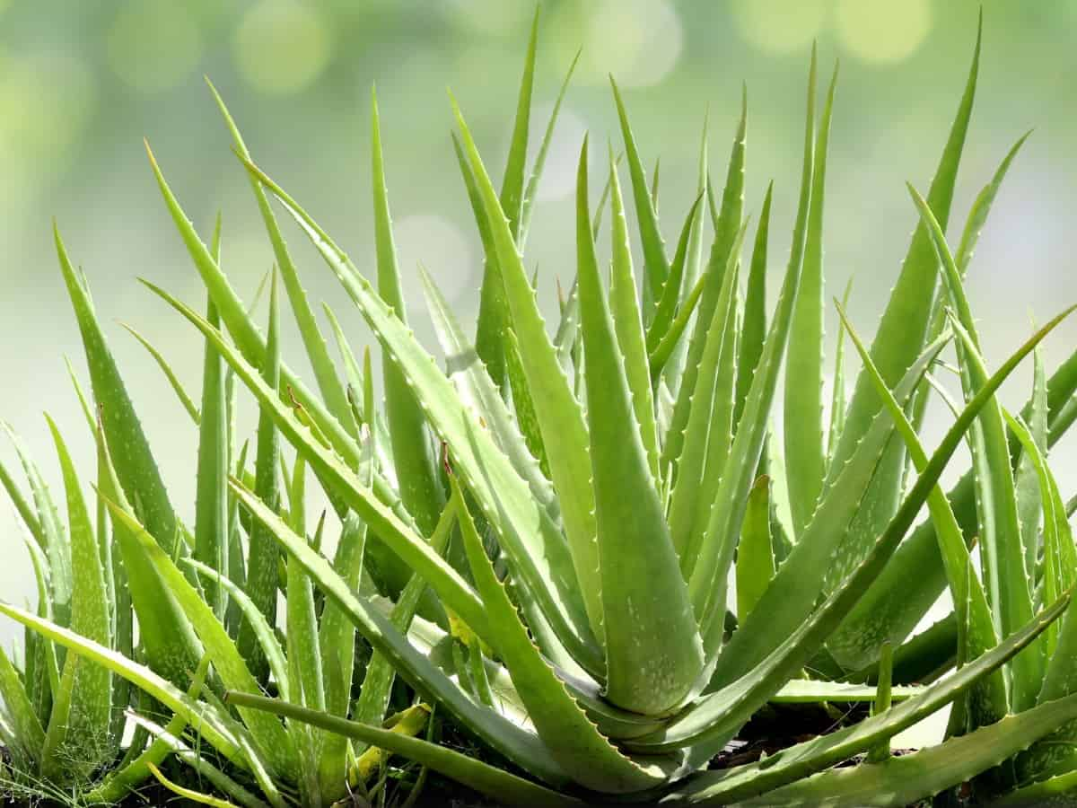 Aloe vera grows quicker than most other succulents.