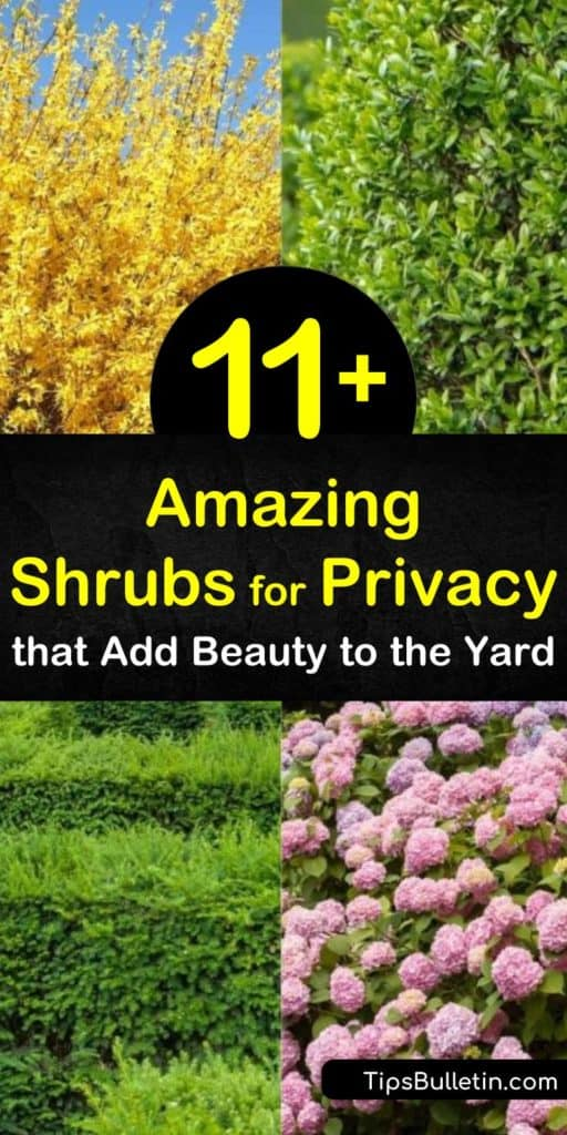 Learn how to make a privacy screen with fast-growing shrubs. Create a privacy hedge of evergreen shrubs, boxwood, hydrangea, and lilac and enjoy green foliage and colorful blooms of purple, pink, and white flowers. #shrubsforprivacy #plantingprivacyshrubs #fastgrowingprivacyshrubs
