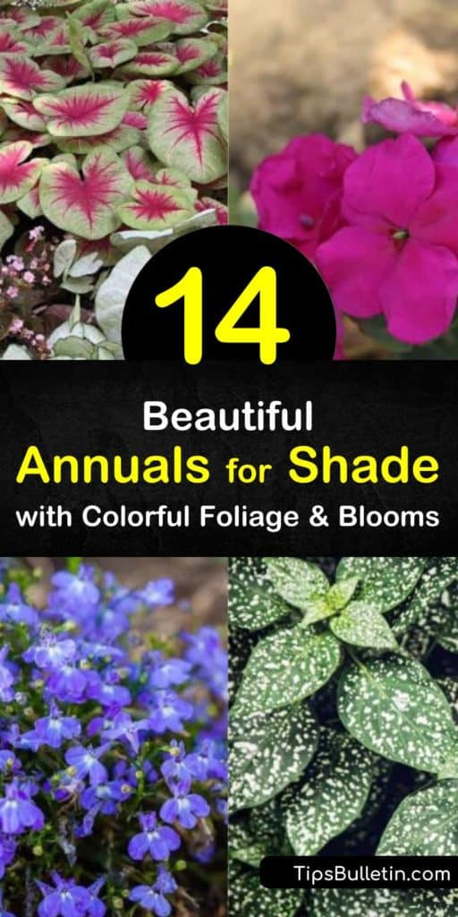 Discover how to fill a shady outdoor space with shade-loving annuals to bring beauty to the yard. Fill full shade or partial shade flowerbeds and hanging baskets with caladium, lobelia, fuchsia, and torenia and enjoy colorful plants all summer long. #shadeannuals #annualsforshade #shadegarden
