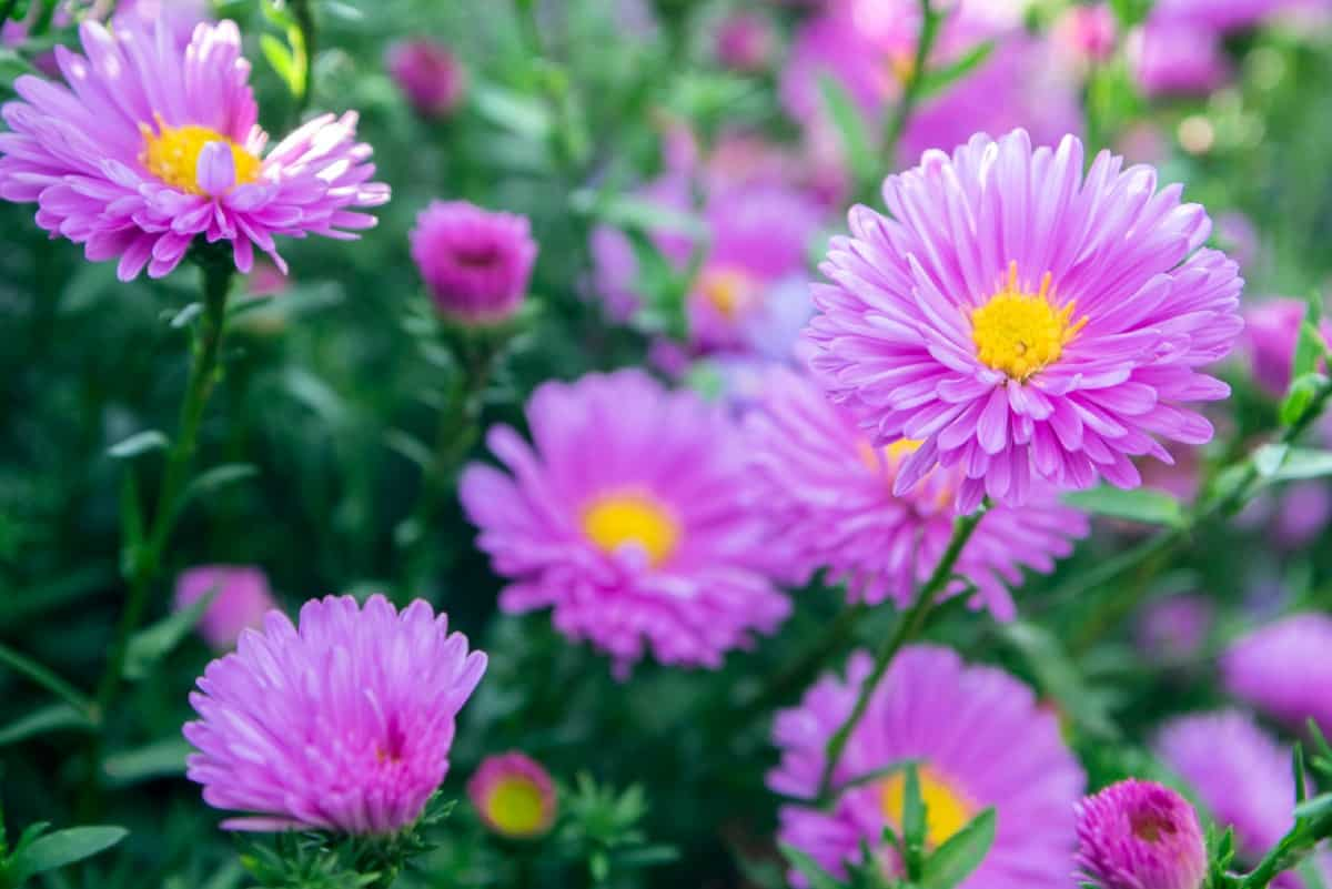 Asters are easy to grow and pollinators love them.