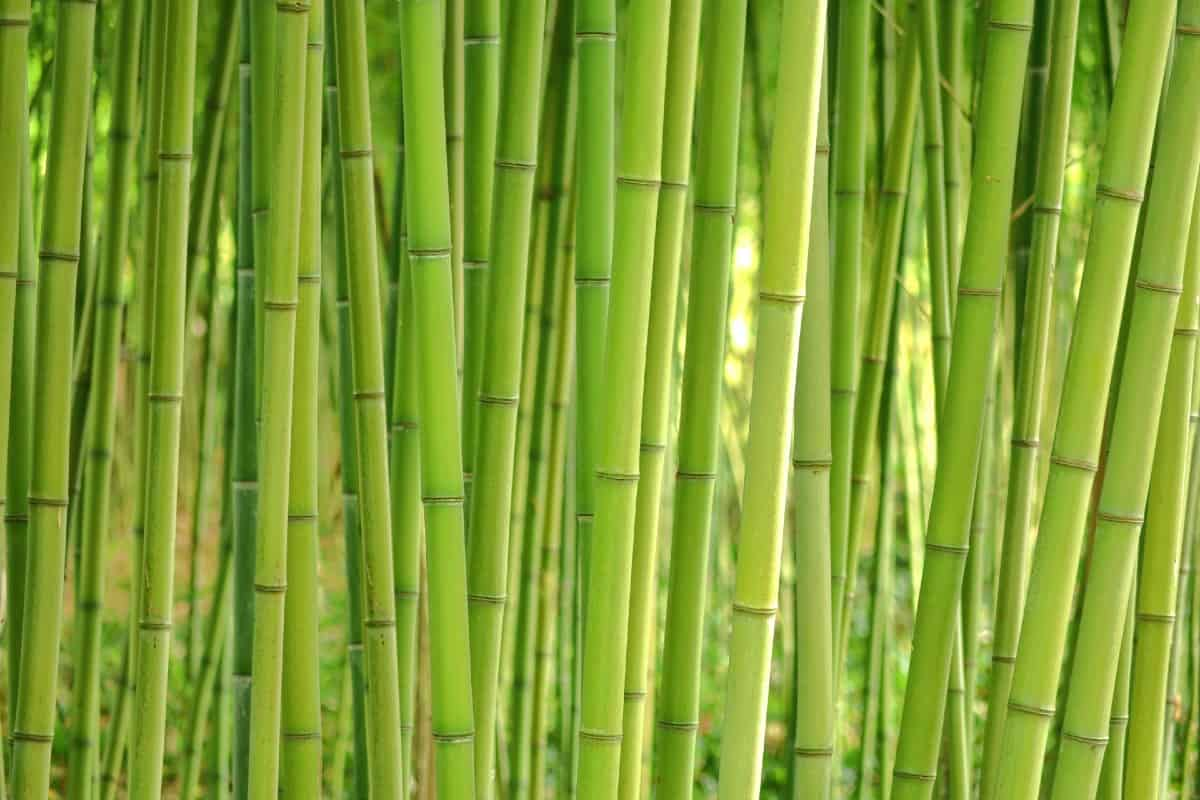 Bamboo is the fastest growing plant in the world.