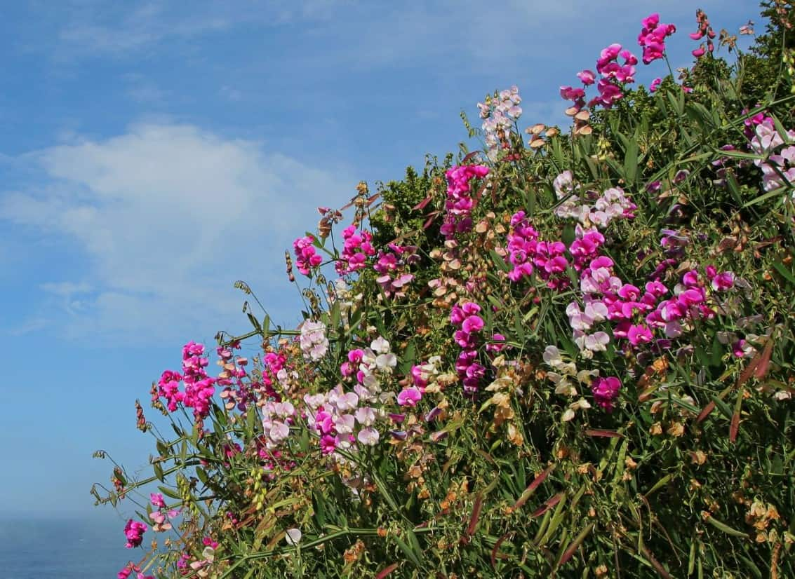 The beach pea has dainty flowers that attract pollinators.