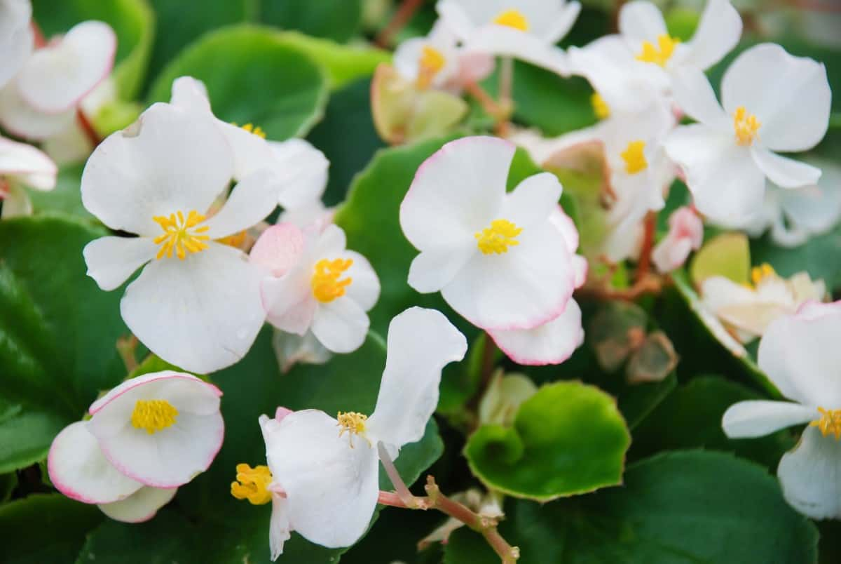 Begonias are long-blooming annuals that are a cheerful addition to any yard.