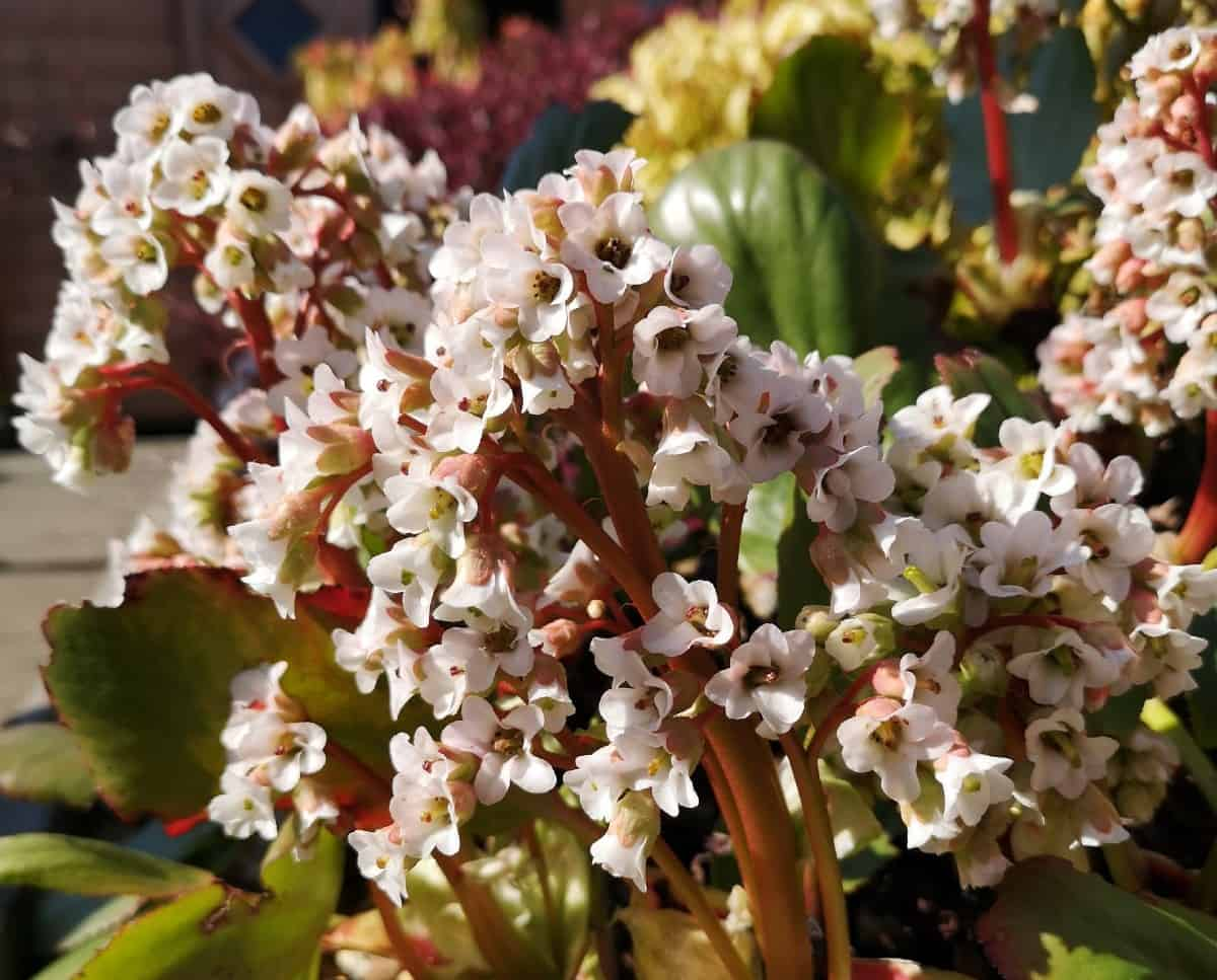 Bergenia can be enjoyed in pots year-round.