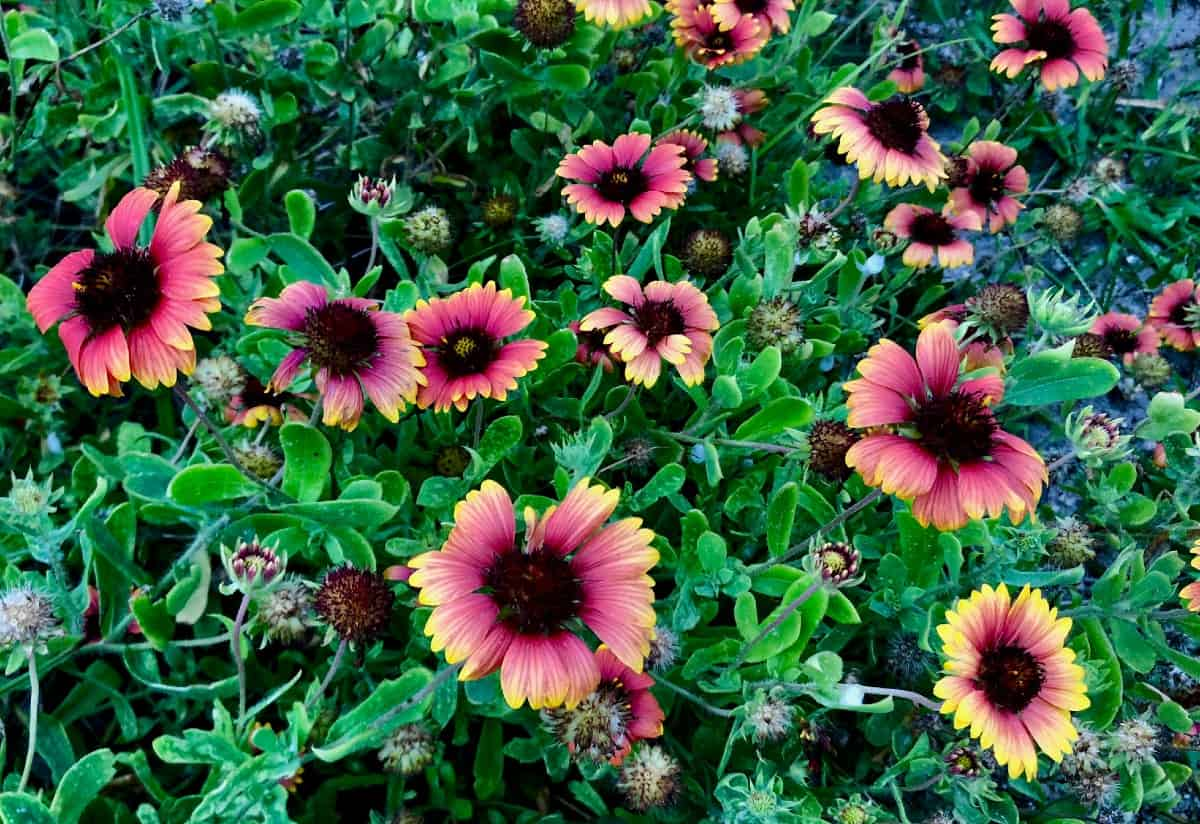 The colorful blanket flower has an extended blooming time.