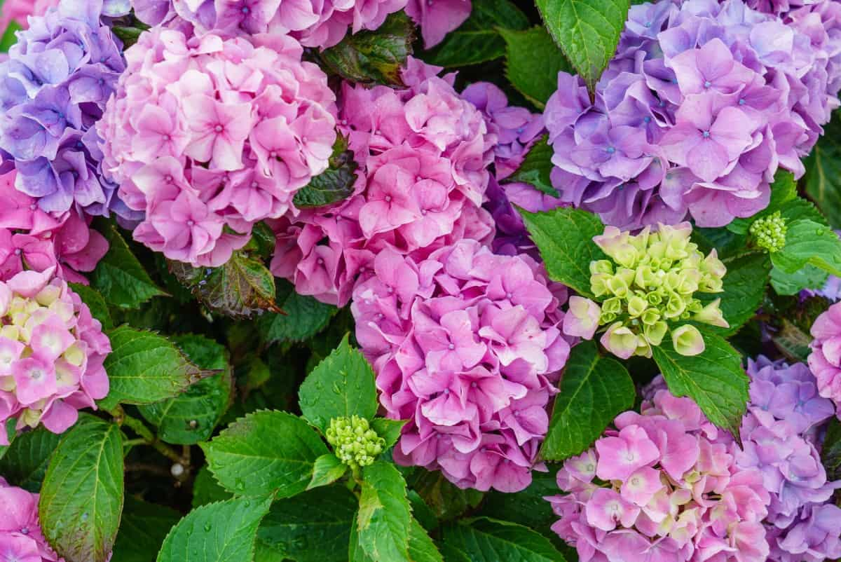 The blue hydrangea has bright full blooms that are popular in yards across America.