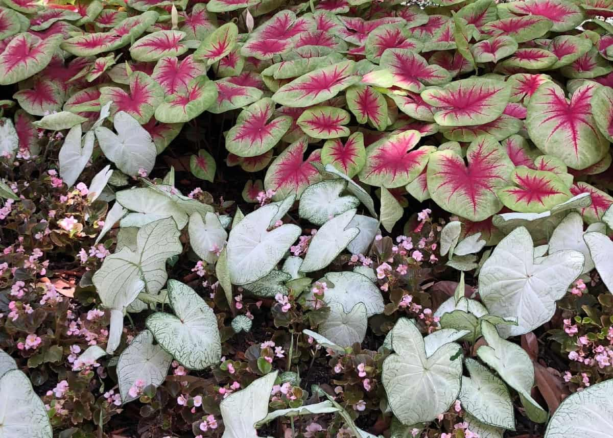 Caladiums look like they were splashed with paint.