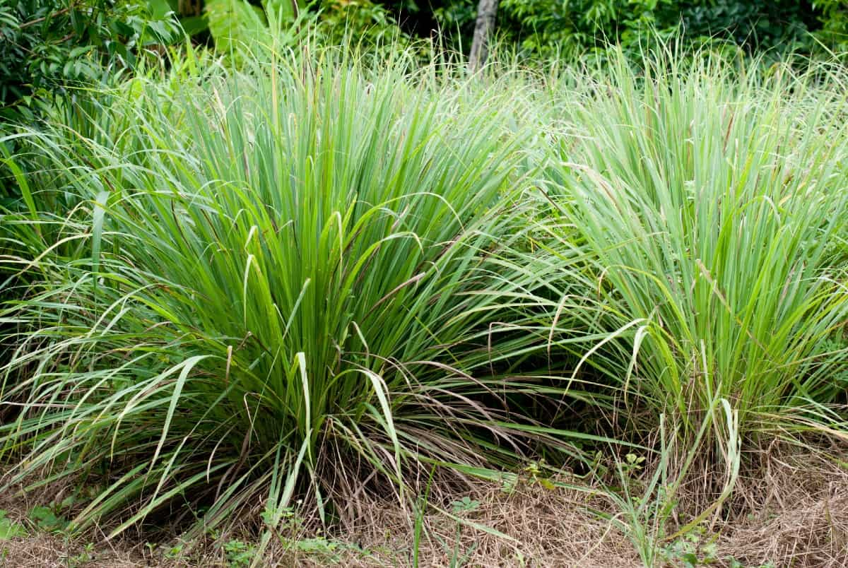 Citronella grass or lemongrass is the ideal mosquito repelling plant.