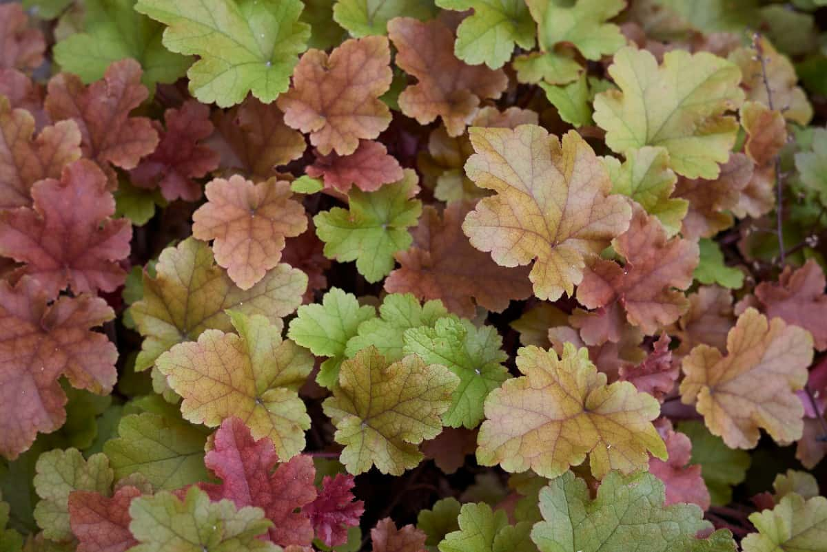 Coral bells is better known for its colorful leaves than its tiny flowers.