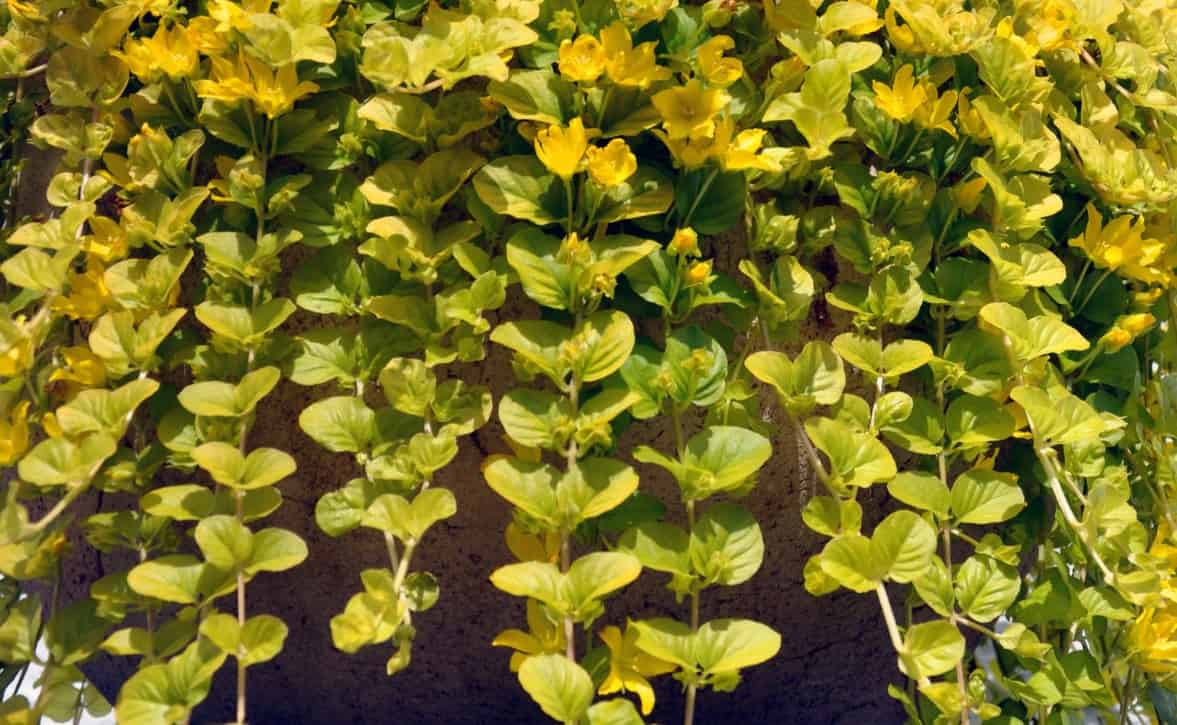 The golden creeping Jenny is a delightful plant that looks great in a pot or window box.