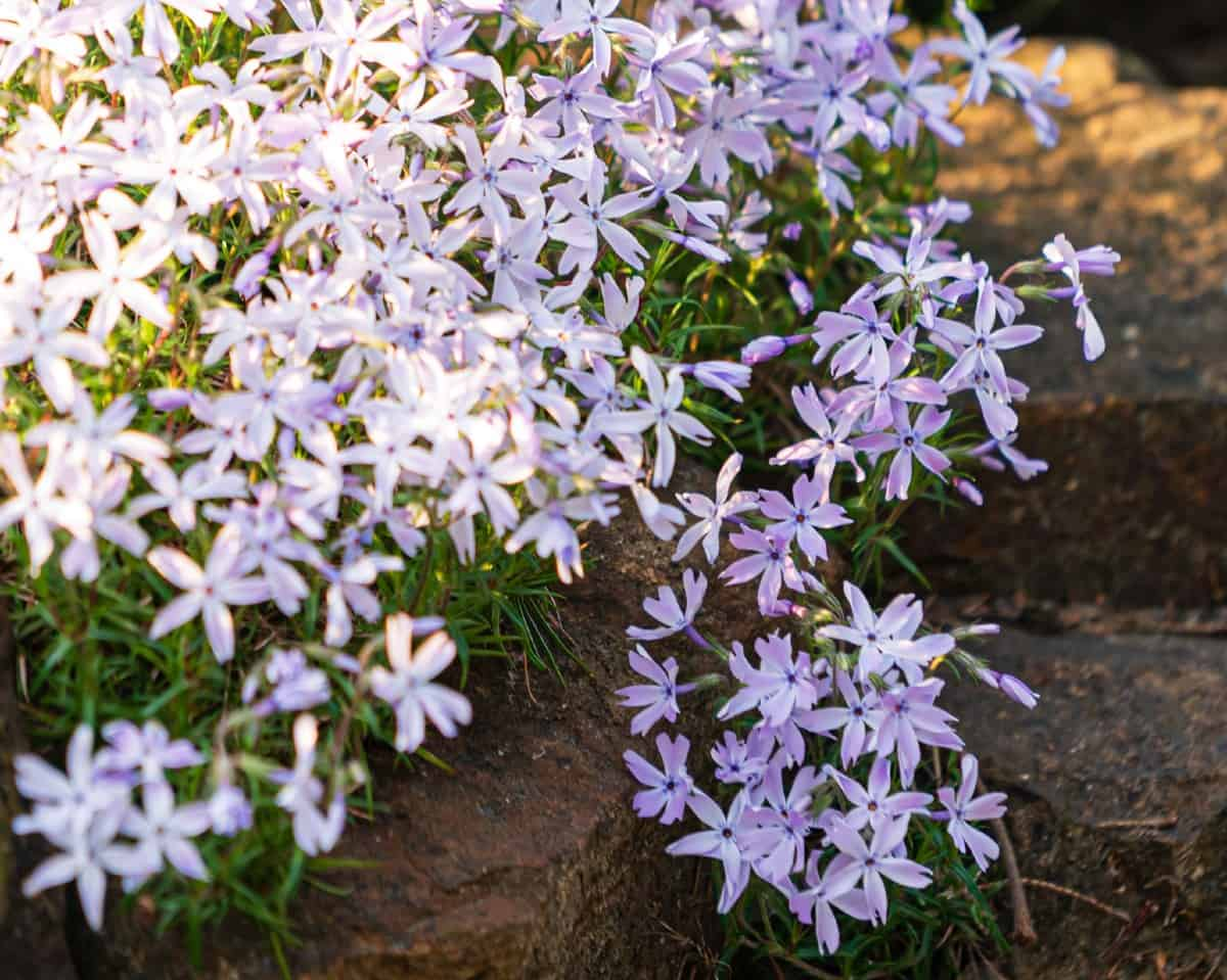 Creeping phlox is an evergreen perennial with needle-like foliage.
