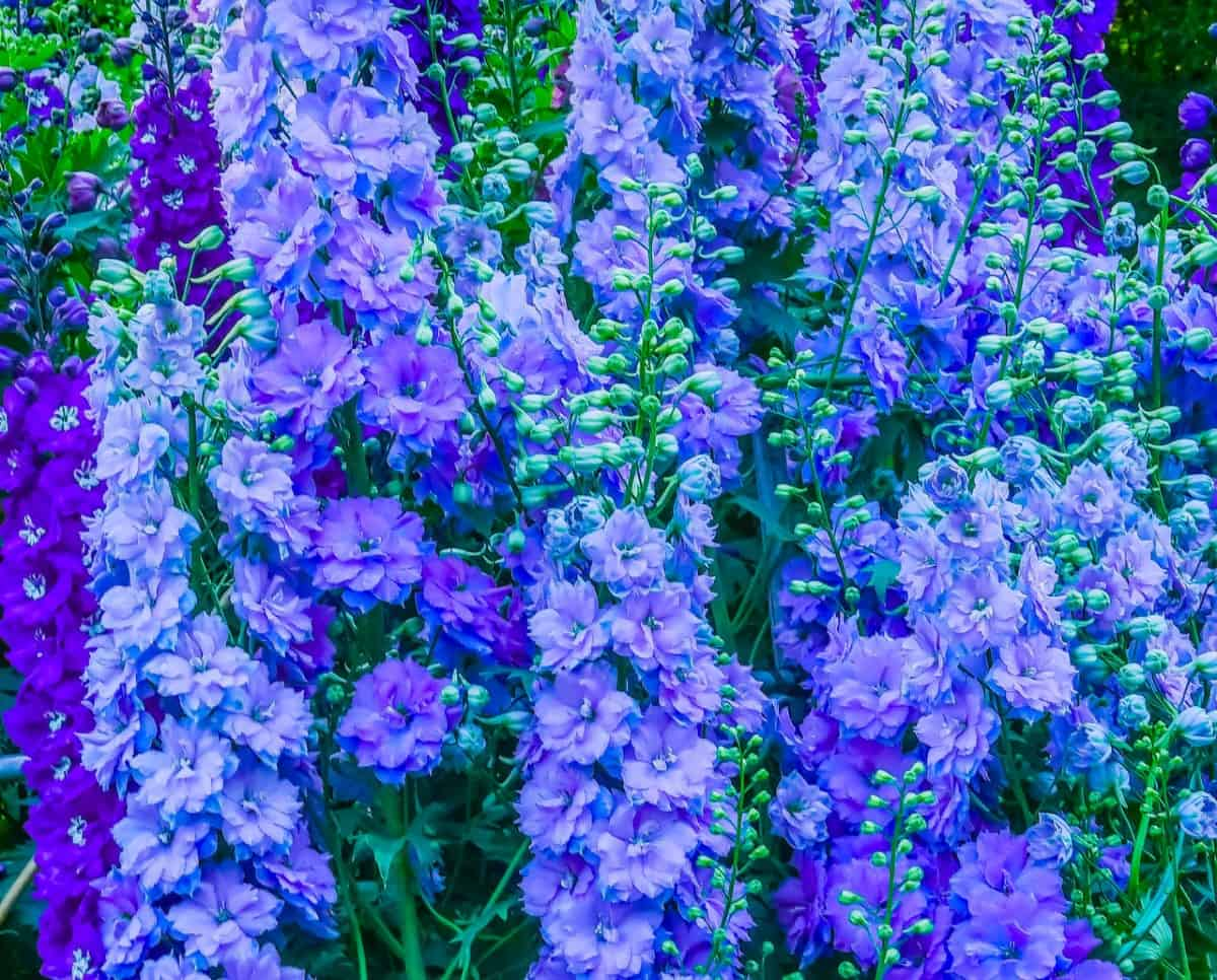 The delphinium is a tall perennial that makes an excellent cut flower.