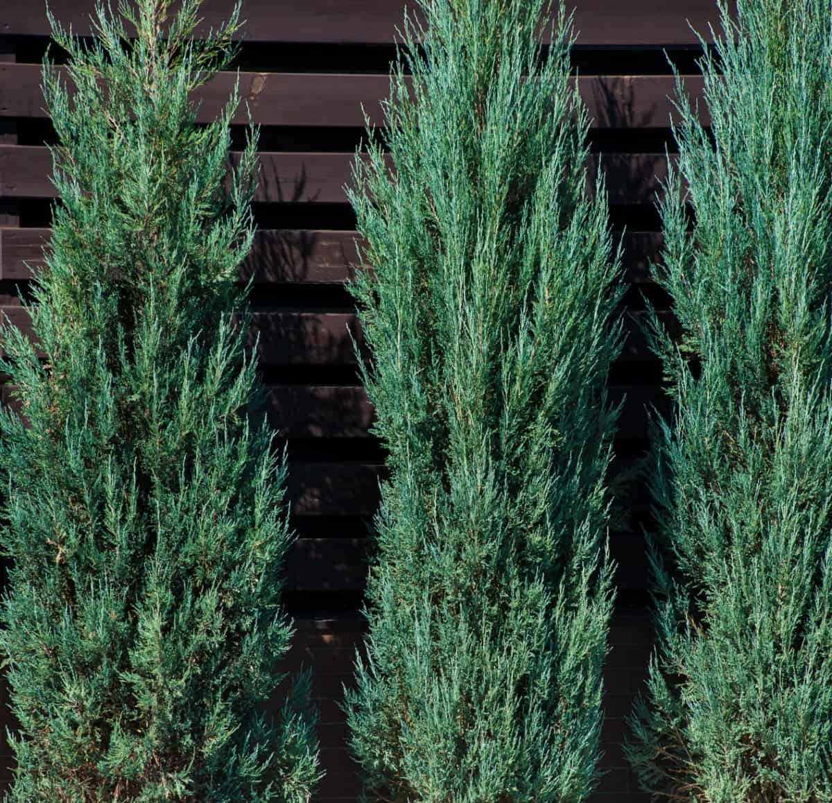 Emerald arborvitae is known for its dense foliage.