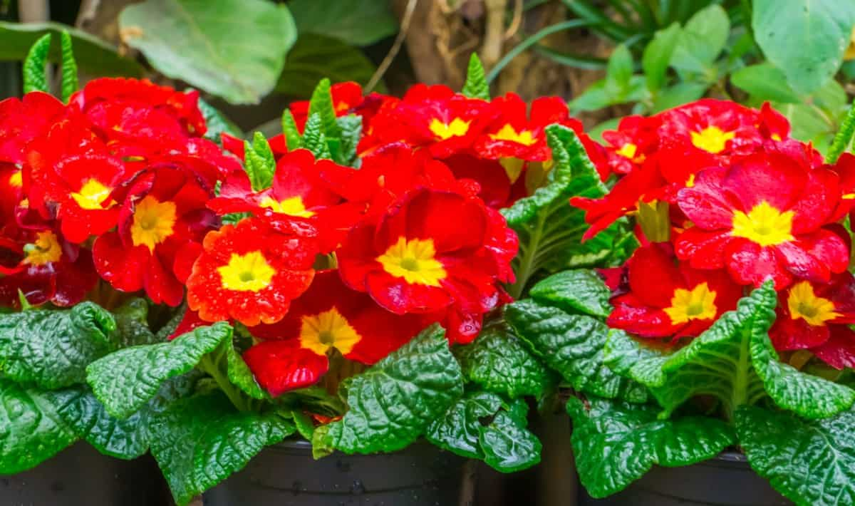 A low maintenance plant, the primrose brings color and texture to any area.