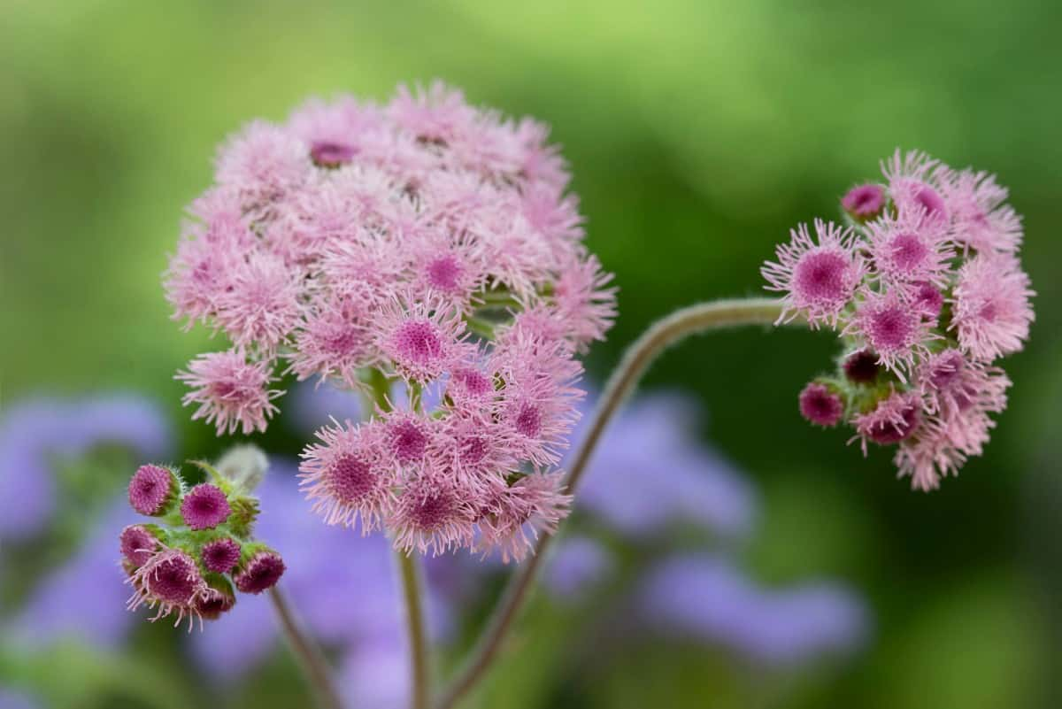 The floss flower has unusual blooms that look like pom poms.