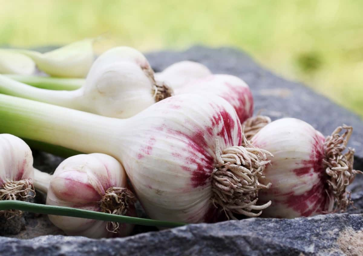 The sulfur compounds in garlic are what repels unwanted insects.