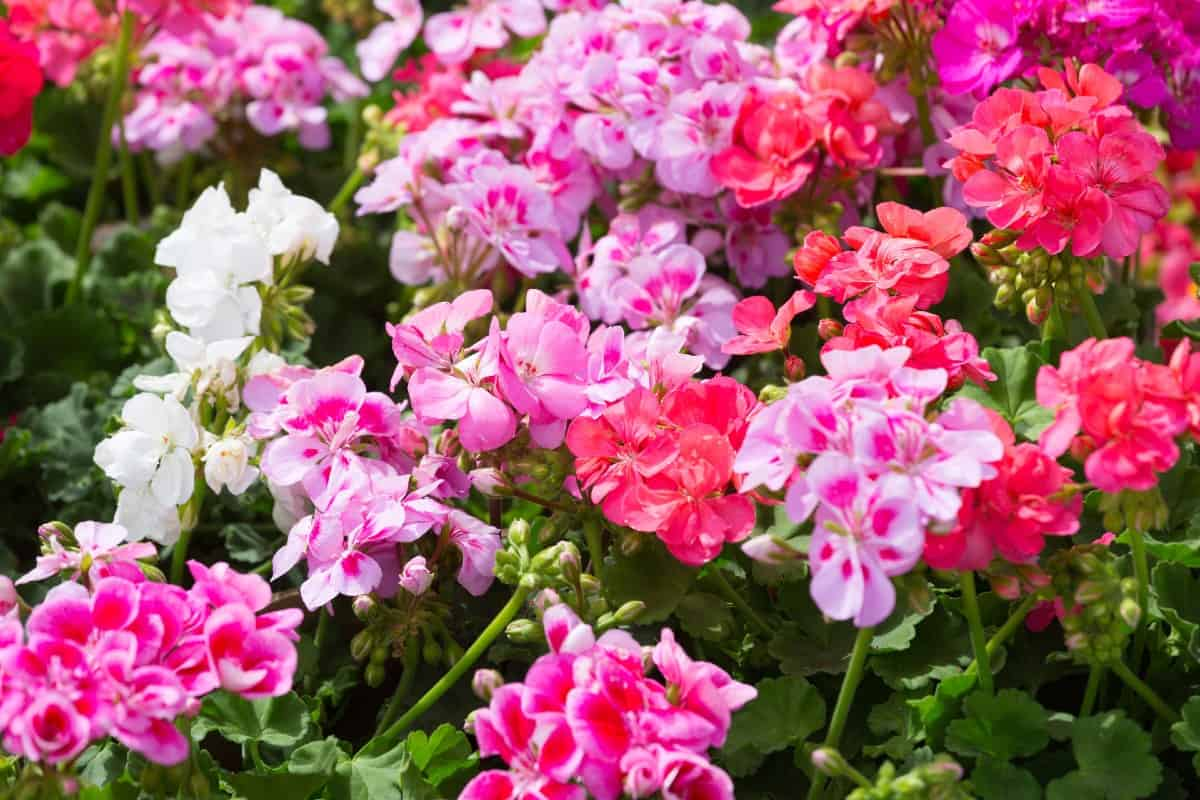 Geraniums are low-maintenance beach flowers.