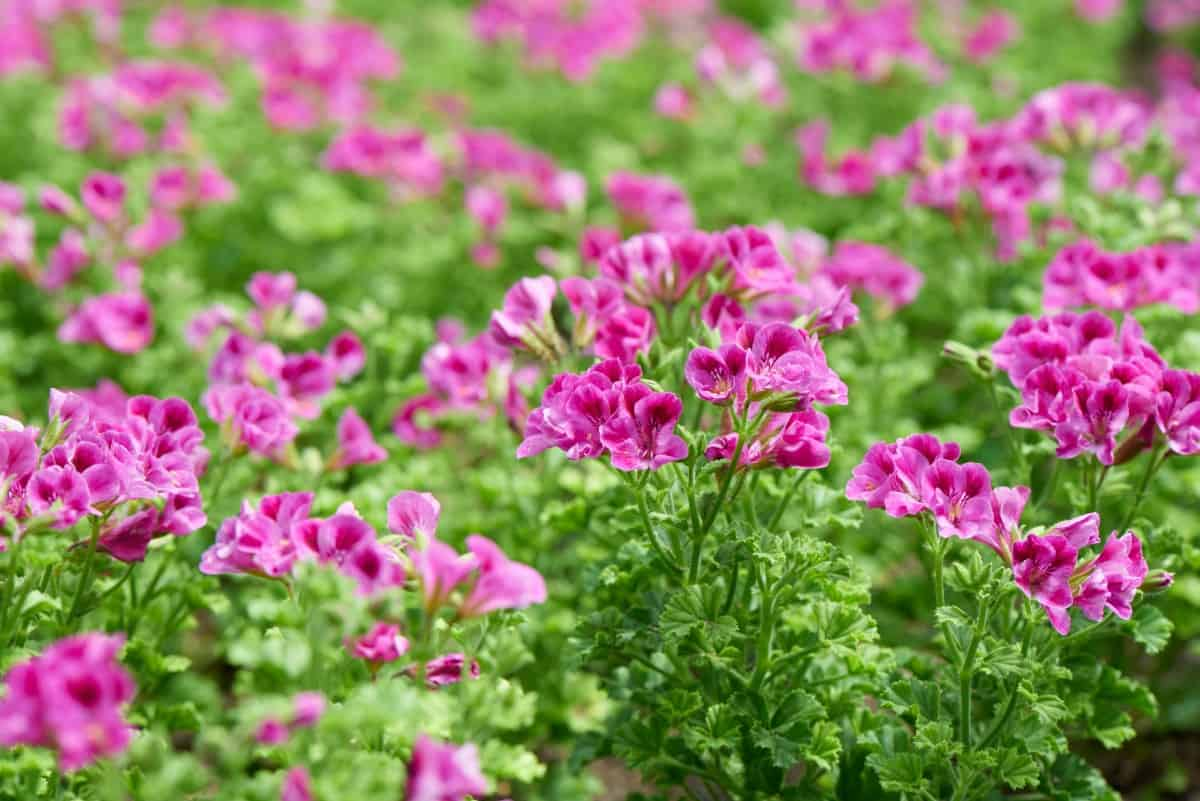Geraniums are colorful plants that do best in warm temperatures.