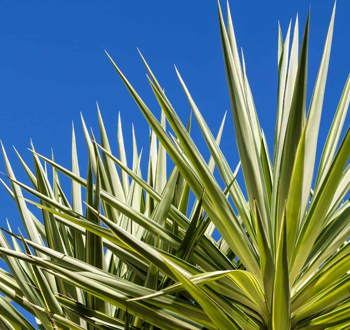 Put your pot of golden sword yucca in the sun for the best results.