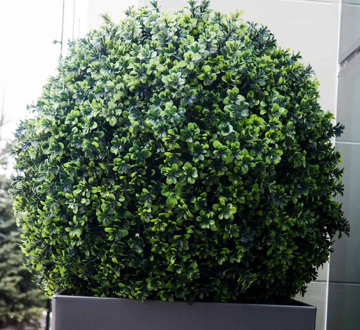 The lush greenery of the green mountain boxwood lasts all year round.