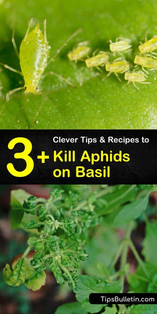 Learn more about pest control on basil plants with beneficial insects such as ladybugs and lacewings. Take care of infestations with just a spray bottle and dish soap! #aphids #basil #pestcontrol #organicgardening #homeremedy