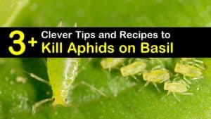 How to Get Rid of Aphids on Basil titleimg1