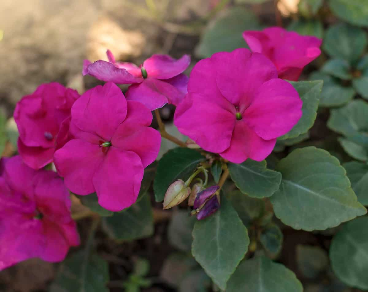 Impatiens comes in a wide variety of color combinations.