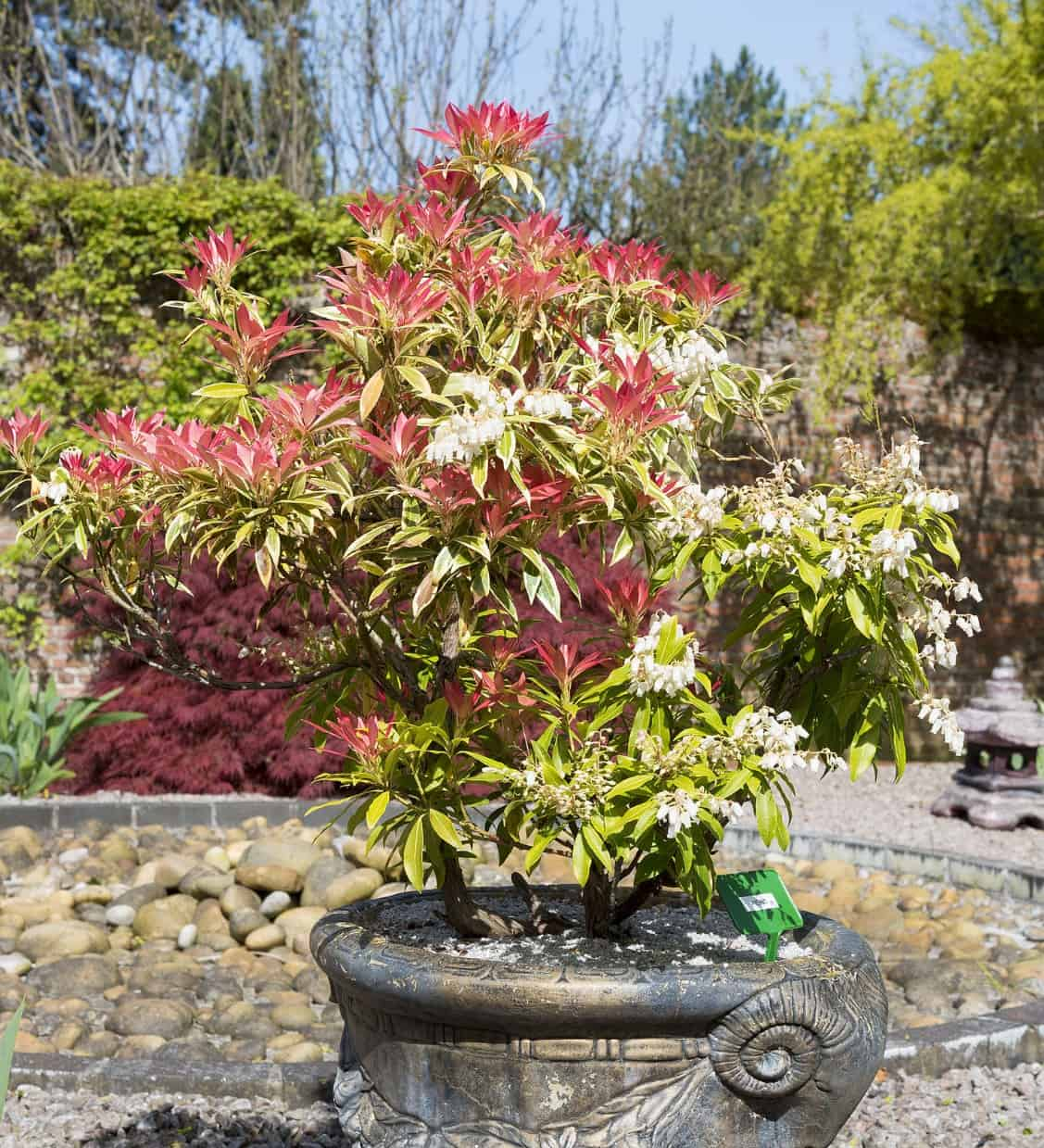 The Japanese pieris or lily or the valley bush has graceful limbs that trail down over the pot it is in.