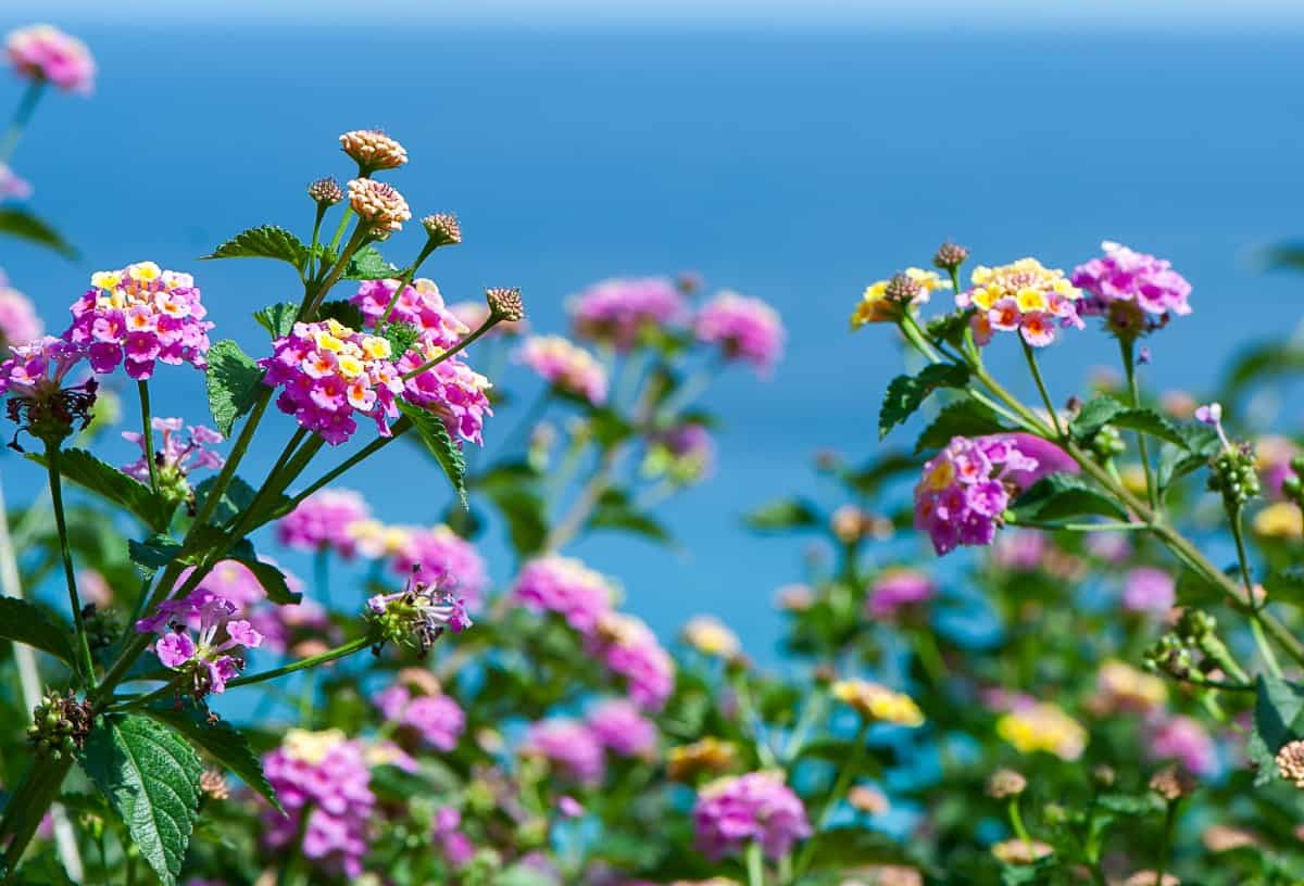 Lantana doesn't mind the beach or other harsh growing conditions.