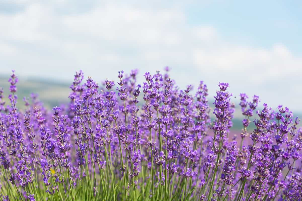 Lavender is a flowering herb that smells great to humans but not insects.