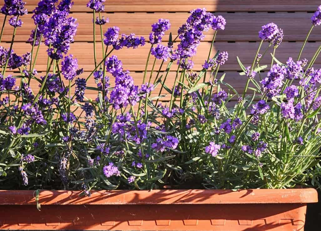Lavender is a fragrant perennial plant for pots or the garden.