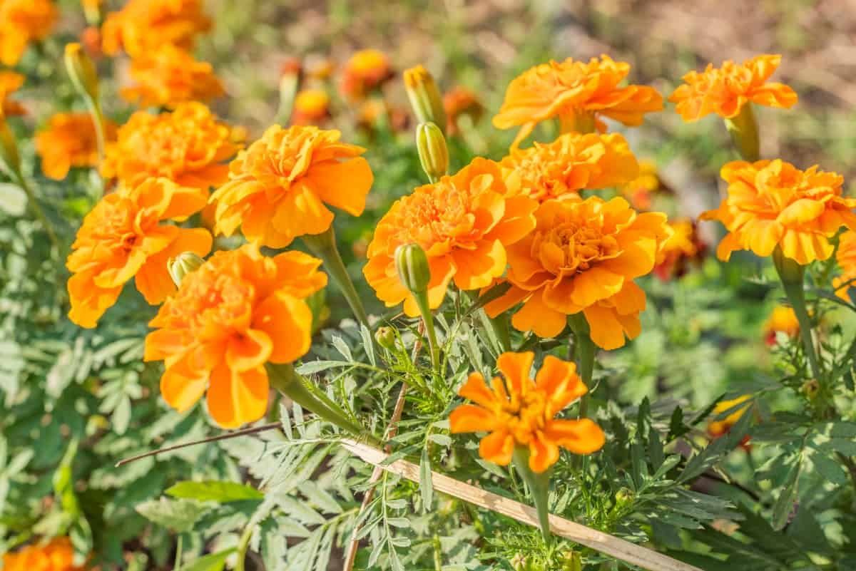 Marigolds discourage mosquitoes and many other garden pests.
