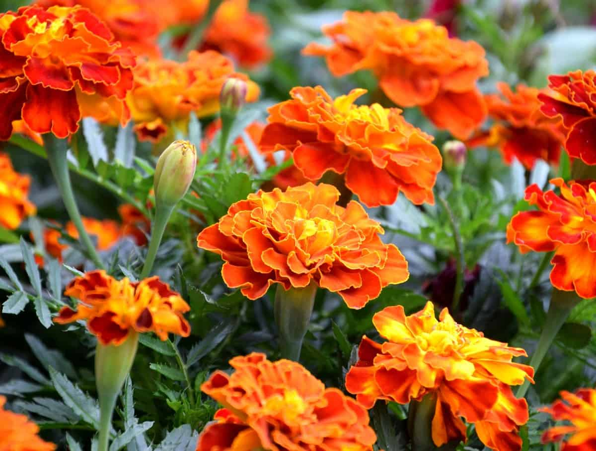 Marigolds are one of the easiest flowers to grow and they grow quickly.
