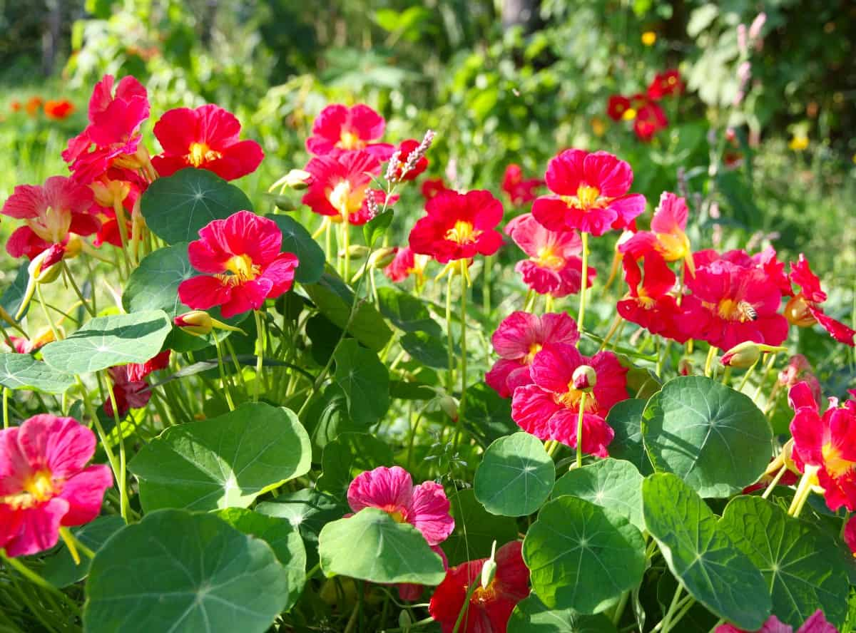 Nasturtiums are brightly-colored flowers that grow amazingly fast.